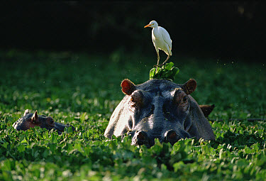 Hippopotamus (Hippopotamus amphibius) swimming in water lettuce, with Cattle Egret (Bulbulcus ibis) perched on head, Serengeti National Park, Tanzania  -  Gerry Ellis