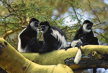 Mantled Colobus (Colobus guereza) family up in a tree, Lake Naivasha, Kenya  -  Gerry Ellis