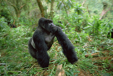 Mountain Gorilla (Gorilla gorilla beringei) male, Virunga Mountains, Rwanda  -  Gerry Ellis