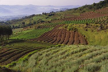 Chrysanthemum (Chrysanthemum sp) fields on east slope of Virunga Mountains with Mount Muhabura in the distance, Rwanda  -  Gerry Ellis