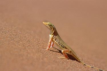 Anchieta's Desert Lizard (Meroles anchietae) side-view portrait on dune slip face, Namib-Naukluft National Park, Namibia  -  Gerry Ellis
