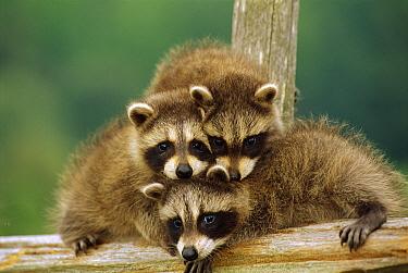 Raccoon (Procyon lotor) three orphan babies, Aspen Valley, Ontario, Canada  -  Gerry Ellis