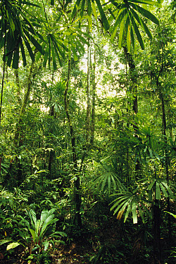 Lowland tropical rainforest with epiphytic growth in the canopy, Omo area, Papua New Guinea  -  Gerry Ellis