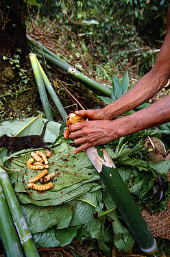 Sago Palm Beetle larvae being prepared for cooking, Kasua Bush Camp, southeastern slope of Mt Bosavi, Papua New Guinea  -  Gerry Ellis