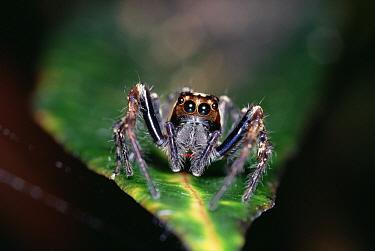 Jumping Spider (Plexippus paykulli) on leaf, front view, Kikori Delta, Papua New Guinea  -  Gerry Ellis