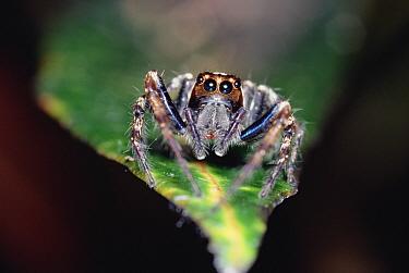 Jumping Spider (Plexippus paykulli) close up on leaf, front view, Kikori Delta, Papua New Guinea  -  Gerry Ellis