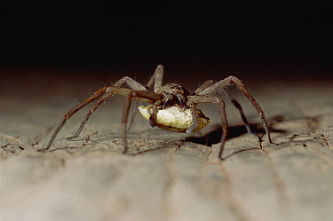 Wolf Spider (Lycosidae) with egg sack, Gulf Province, Papua New Guinea  -  Gerry Ellis