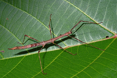Stick Insect on leaf, Papua New Guinea