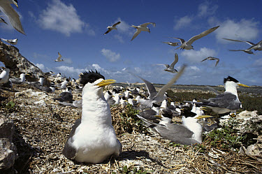 Great Crested-Tern (Sterna bergii) nesting site, southern Australia  -  Gerry Ellis
