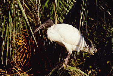 Straw-necked Ibis (Threskiornis spinicollis) perching on limb, surrounded by vegetation, Australia  -  Gerry Ellis