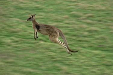 Eastern Grey Kangaroo (Macropus giganteus) jumping through prairie field, Australia  -  Gerry Ellis