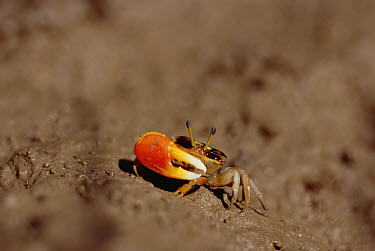 Capricorn Fiddler Crab (Uca capricornis), northeastern Queensland, Australia  -  Gerry Ellis