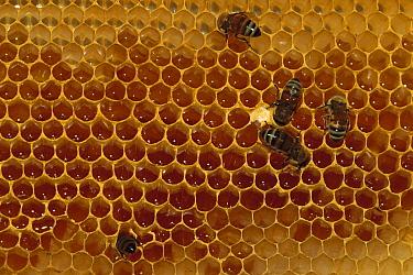 Honey Bee (Apis mellifera) group feeding on honeycomb, North America  -  Gerry Ellis