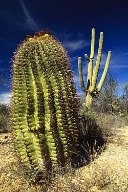Saguaro (Carnegiea gigantea) with Fishhook Barrel Cactus (Ferocactus wislizenii) in the foreground, Sonoran Desert, Arizona  -  Gerry Ellis