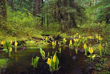Western Skunk Cabbage (Lysichiton americanum) in old growth temperate rainforest, Misty Fjords National Monument, Alaska  -  Gerry Ellis