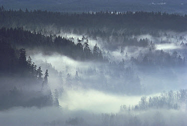 Morning fog blanketing Queets River Valley, Olympic National Park, Washington  -  Gerry Ellis