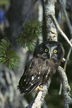 Boreal Owl (Aegolius funereus) perched in tree, North America  -  Gerry Ellis