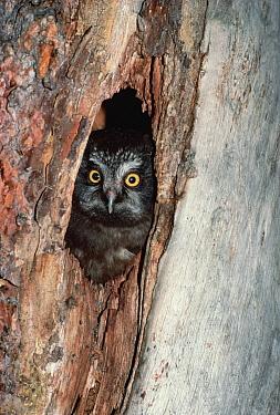 Boreal Owl (Aegolius funereus) peeking out from nest in tree trunk, North America  -  Gerry Ellis
