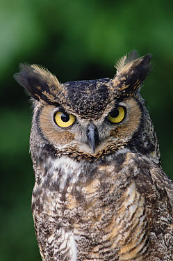 Great Horned Owl (Bubo virginianus) close-up portrait, North America  -  Gerry Ellis