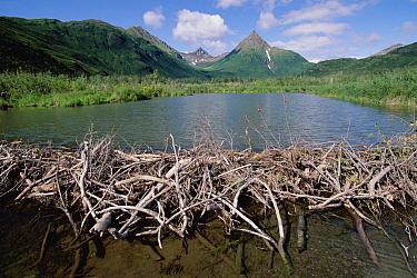 American Beaver (Castor canadensis) dam, Silver Horn Creek, Lake Silver Horn, Wood River, Wood-Tikchik State Park, Alaska  -  Gerry Ellis