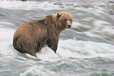 Grizzly Bear (Ursus arctos horribilis) wading in rapids, McNeil River Sanctuary, Alaska  -  Gerry Ellis