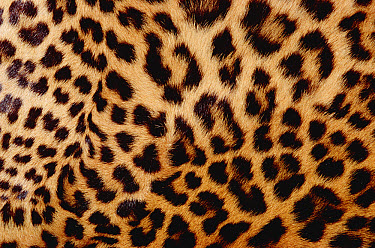 Jaguar (Panthera onca) fur, close-up of patterned detail, Washington Park Zoo, Portland, Oregon  -  Gerry Ellis