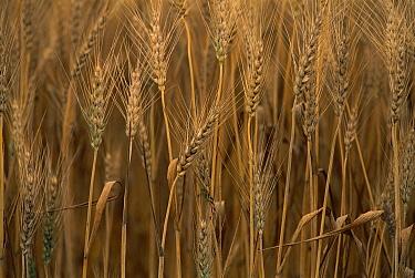 Wheat (Triticum aestivum x hybrid) cultivated, Sauvie Island, Oregon  -  Gerry Ellis