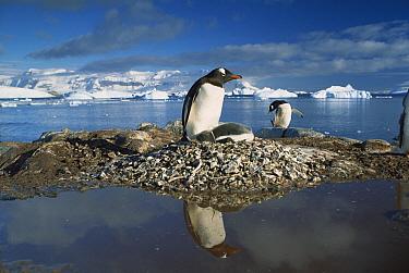 Gentoo Penguin (Pygoscelis papua) parent on nest with chicks surrounded by flood water, Antarctica Peninsula, Antarctica  -  Gerry Ellis