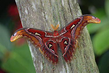 Atlas Moth (Attacus atlas) portrait, Asia  -  Gerry Ellis