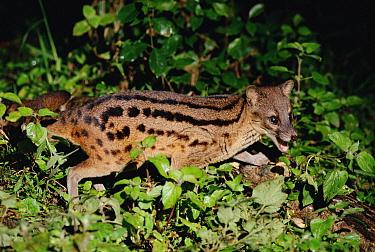 Striped Civet (Fossa fossana) side view portrait, eastern Madagascar  -  Gerry Ellis