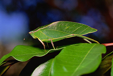 Green Leaf-mimic Katydid (Steirodon robertsorum) on leaf, Costa Rican highlands  -  Gerry Ellis