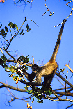 Black-handed Spider Monkey (Ateles geoffroyi) in tree eating Lobster Claw blossoms, Costa Rica  -  Gerry Ellis