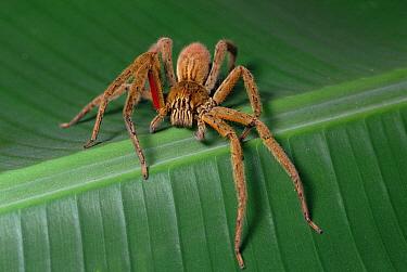 Wandering Spider (Cupiennius coccineus) with egg sac under abdomen, not visible in photo, Mesoamerica  -  Gerry Ellis