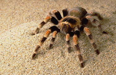Mexican Red-knee Tarantula (Brachypelma smithi), Mexico