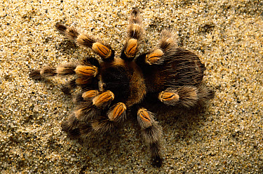 Mexican Red-knee Tarantula (Brachypelma smithi) portrait, top view, Mexico and Central America  -  Gerry Ellis