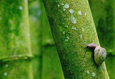 Snail on trunk, Puerto Rico  -  Gerry Ellis