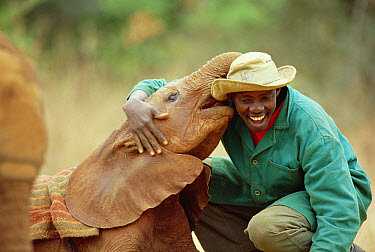 African Elephant (Loxodonta africana) keeper Patrick with Lingwesi, a five week old orphan, David Sheldrick Wildlife Trust, Tsavo East National Park, Kenya  -  Gerry Ellis
