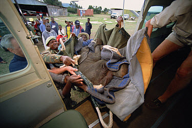 African Elephant (Loxodonta africana) orphan, Thoma, loaded onto small airplane for trip to David Sheldrick Wildlife Trust, Tsavo East National Park, Kenya  -  Gerry Ellis