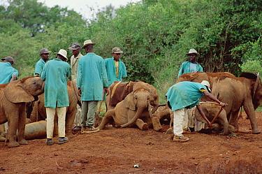 African Elephant (Loxodonta africana) orphan elephants and Nairobi keepers enjoy one last mud bath before trip to Tsavo East National Park, David Sheldrick Wildlife Trust Orphanage, Kenya  -  Gerry Ellis