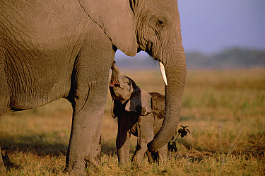 African Elephant (Loxodonta africana) infant begging mother to nurse, Amboseli National Park, Kenya  -  Gerry Ellis
