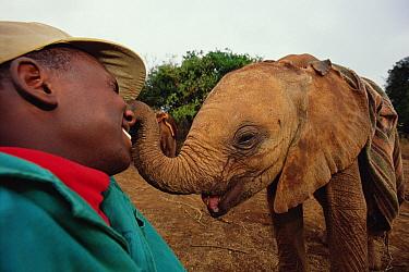 African Elephant (Loxodonta africana) keeper, Julius, shares a tender moment with Kinna, a young orphan, David Sheldrick Wildlife Trust, Tsavo East National Park, Kenya  -  Gerry Ellis
