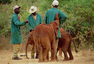 African Elephant (Loxodonta africana) orphans, new arrivals, mingle with keepers, David Sheldrick Wildlife Trust, Tsavo East National Park, Kenya  -  Gerry Ellis