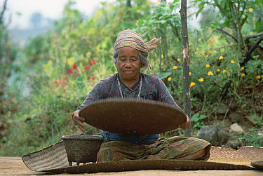 Elderly woman separating rice seed from husk, mountain village above Pokhara, Nepal  -  Gerry Ellis