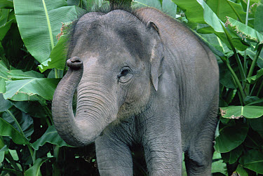 Asian Elephant (Elephas maximus) baby, southeast Asia  -  Gerry Ellis
