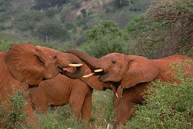 African Elephant (Loxodonta africana) young bulls engage in greeting ritual, Amboseli National Park, Kenya  -  Gerry Ellis