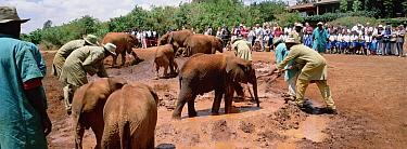 African Elephant (Loxodonta africana) orphans and keepers in midday mud wallow at orphanage in Nairobi, David Sheldrick Wildlife Trust, Tsavo East National Park, Kenya  -  Gerry Ellis