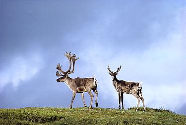 Caribou (Rangifer tarandus) silhouetted against sky, Alaska  -  Gerry Ellis