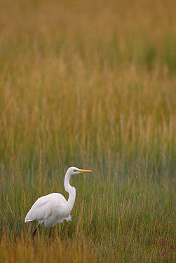 Great Egret (Casmerodius albus) in tall grass, Assateague Island National Seashore, Maryland  -  Gerry Ellis