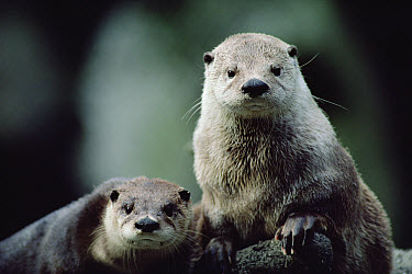 North American River Otter (Lontra canadensis) pair, North America  -  Gerry Ellis