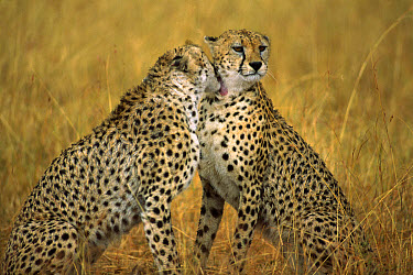 Cheetah (Acinonyx jubatus) pair grooming one another, Masai Mara Reserve, Kenya  -  Gerry Ellis